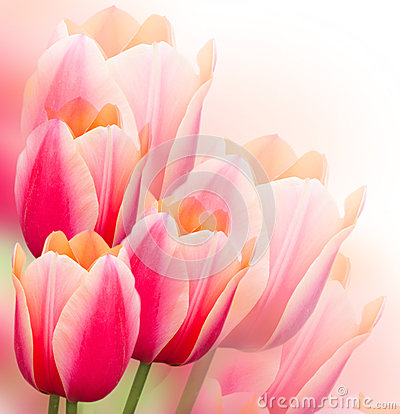 Free Tulips Background Royalty Free Stock Photography - 29509647