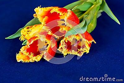 Tulips on blue cloth