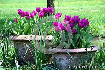Tulips in the ceramics pot