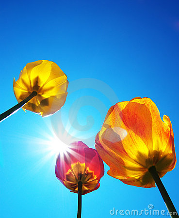 Tulips and clear sky