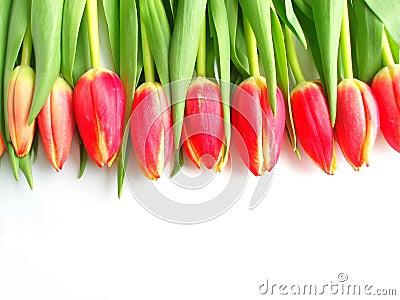 Tulips coloridos vermelhos