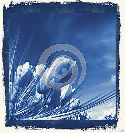 Tulips in delft s Blue