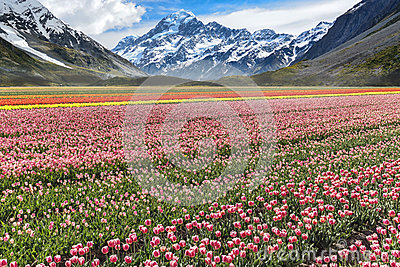 Tulips farm valley