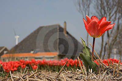 Tulips and a farmhouse