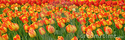 Tulips Field Panorama