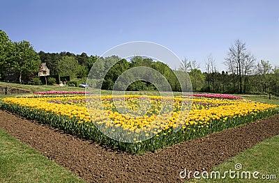 Tulips flower bed in garden