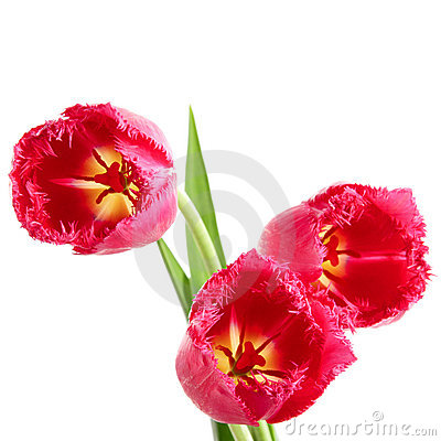 Tulips with fringe