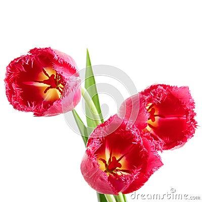Tulips with fringe