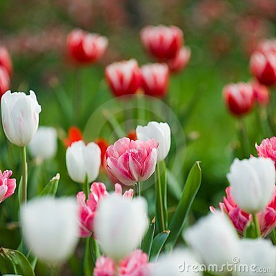 Tulips in the garden
