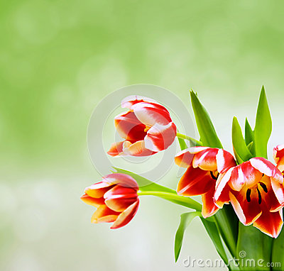 Tulips on green blurred background