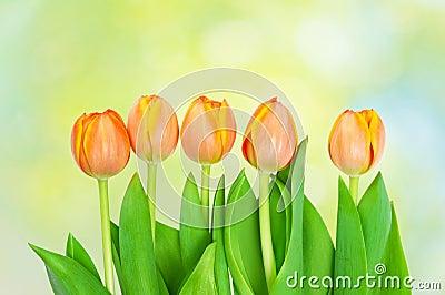 Tulips  growing on natural bokeh