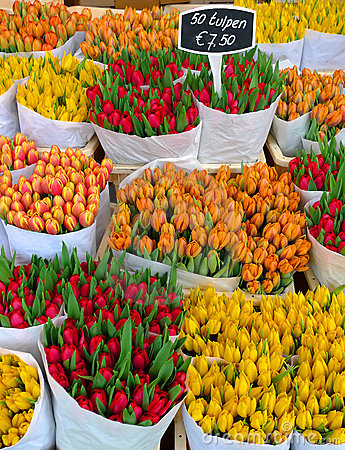 Free Tulips In Amsterdam Royalty Free Stock Photo - 13149065