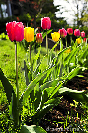 Free Tulips In Spring Garden Royalty Free Stock Photography - 9717287