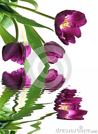 Free Tulips In The Springtime Stock Photo - 4600460