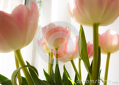Tulips indoor decor