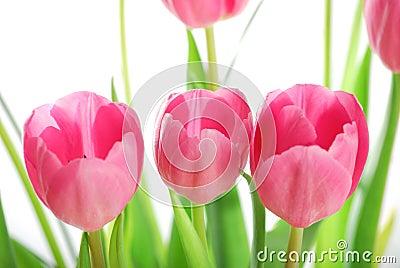 Tulips isolated on white