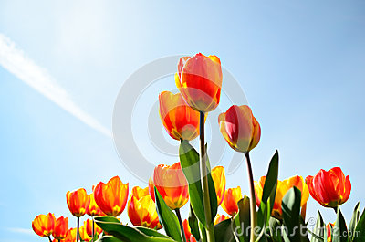 Tulips from a low point of view