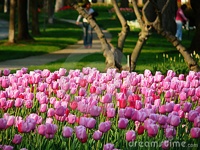 Tulips in a park