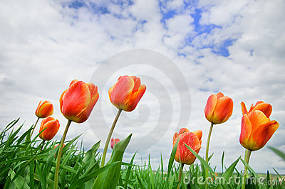 Tulips rising up to the sun