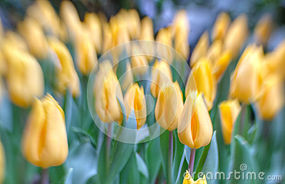 Tulips in selective focus