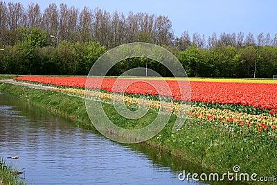 Tulips. Spring flowers. Netherlands. Landscape.