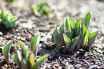 Tulips sprouting from the ground