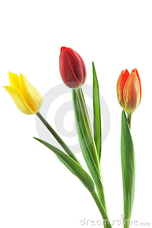 Free Tulips Trio Royalty Free Stock Images - 803029