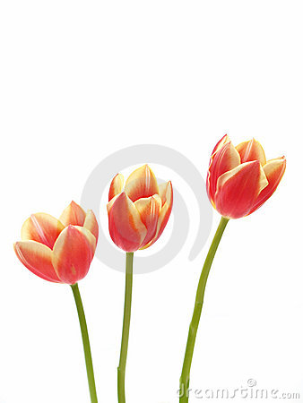 Free Tulips - Tulipa Gesneriana Royalty Free Stock Images - 615289