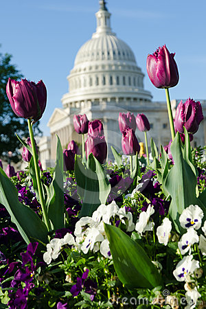 Tulips in Washington DC