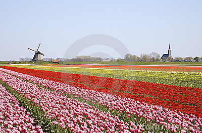Tulips and windmill 4