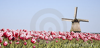Tulips and windmill 7