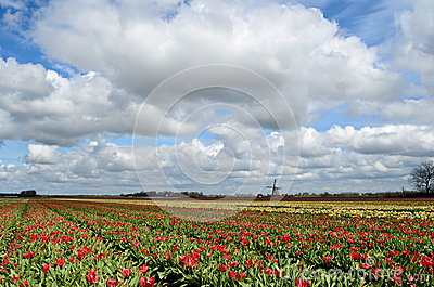 Tulips and a windmill in Holland