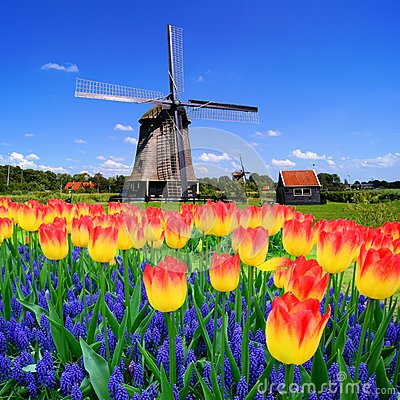 Free Tulips WWith Dutch Windmill, Netherlands Stock Image - 51600641