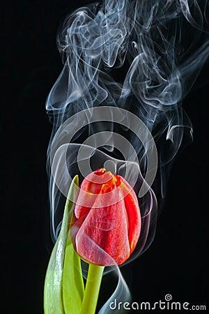 Tulp met rook