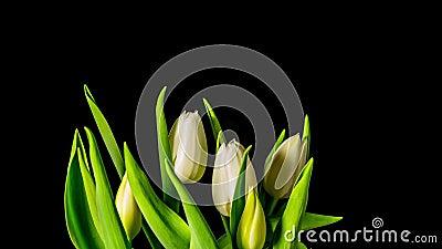 Tulpan växer och blommar, Time-schackningsperioden