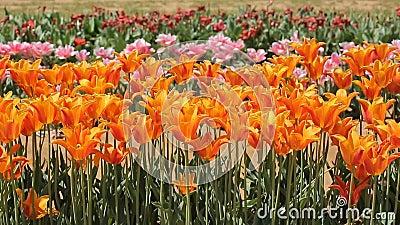Tulpen blazen in de wind stock videobeelden