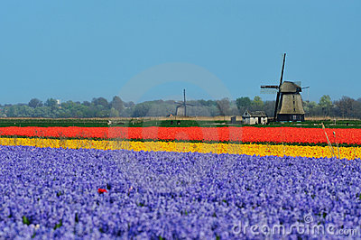 Tulpen und Windmühle