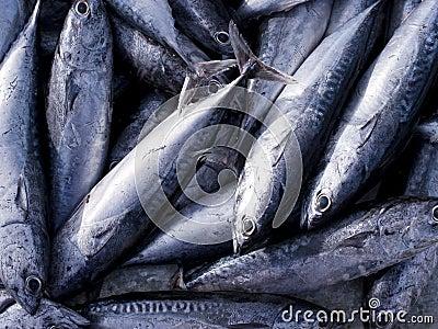 Eastern little tuna - photo#17