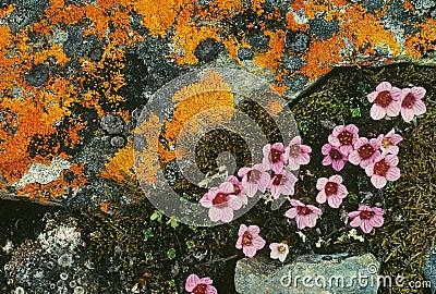 Tundra λουλουδιών