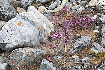 Tundra flowers (Saxifraga oppositifolia)
