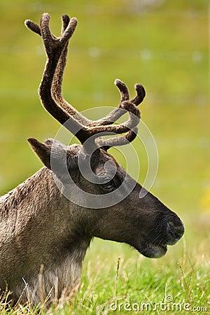 Tundra Reindeer - (Rangifer tarandus)