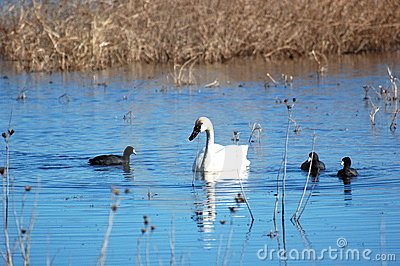 Tundra Swan and American Coots
