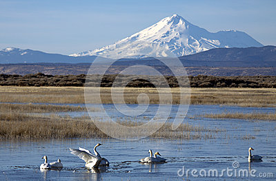 Tundra Swans below Mount Shasta