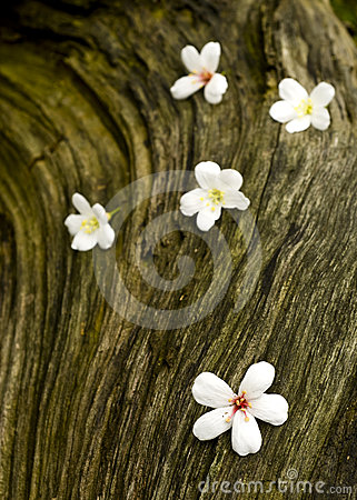 TUNG TREE FLOWER IN May ON THE OLD WOOD