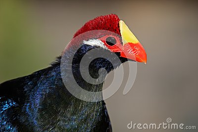Turaco violet