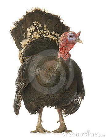 Free Turkey Royalty Free Stock Photo - 4575565