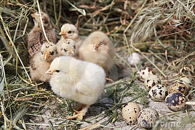 Turkey chicks