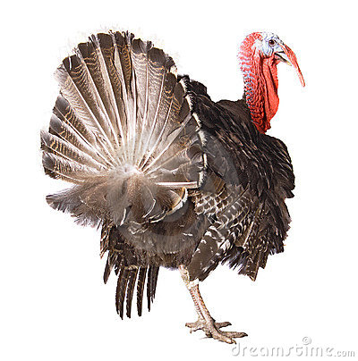 Free Turkey Cock Royalty Free Stock Images - 7878699