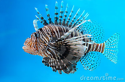 Turkey Fish or  Pterois Volitans