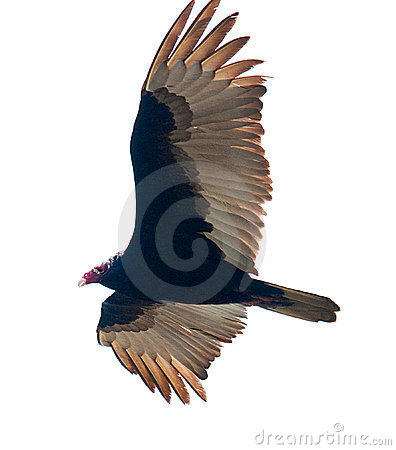 Free Turkey Vulture Royalty Free Stock Images - 13092549